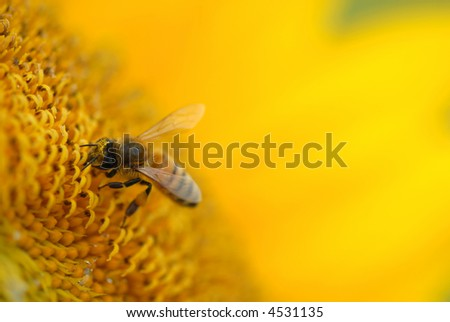 A honey bee works over a large sunflower for pollen. - stock photo