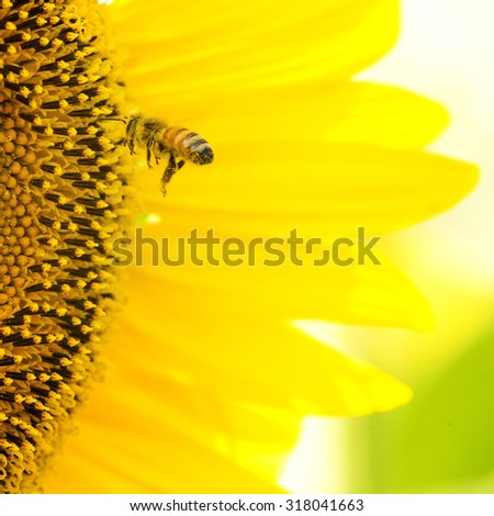A honeybee flying for a sunflower pollen. - stock photo