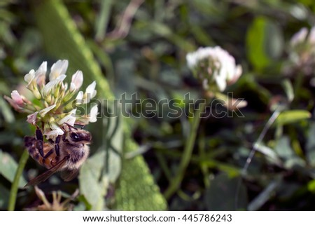 A honeybee hangs off a clover blossom. Narrow range of focus leaves plenty of space for text.  - stock photo