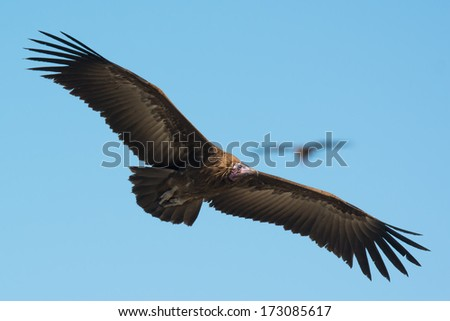 A Hooded Vulture (Necrosyrtes manachus) circling above in flight - stock photo