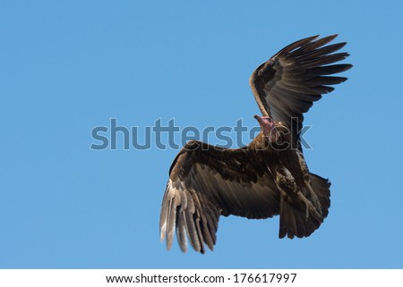 A Hooded Vulture (Necrosyrtes manachus) in flight flapping for altitude - stock photo