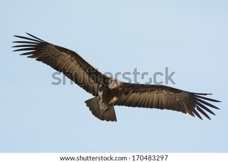 A Hooded Vulture (Necrosyrtes manachus) soaring in flight - stock photo