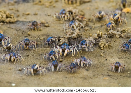 A horde of Soldier Crabs feeding- Mictyris longicarpus is a species of crab that lives on sandy beaches from the Bay of Bengal to Australia. - stock photo