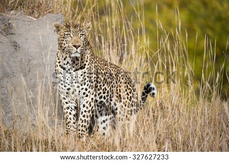 A horizontal, colour, full-length photograph of a leopard, Panthera pardus, standing alert and focused in tall, dry grass beside a boulder at Sabi Sands Game Reserve, South Africa. - stock photo