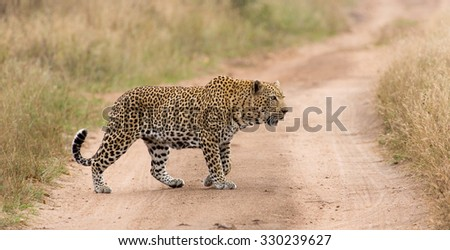 A horizontal, colour image of a large, old male leopard with ragged ears, 'coughing' while on patrol crossing a dirt road in the Sabi Sand Private Game Reserve, Mpumalanga province, South Africa. - stock photo