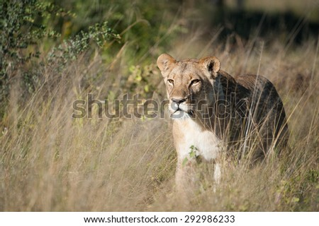 A horizontal, colour image of a single lioness stalking through tall grass at Machaba, Botswana. - stock photo