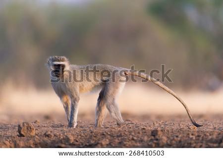 A horizontal, colour photo of a vervet monkey striking a pose. - stock photo