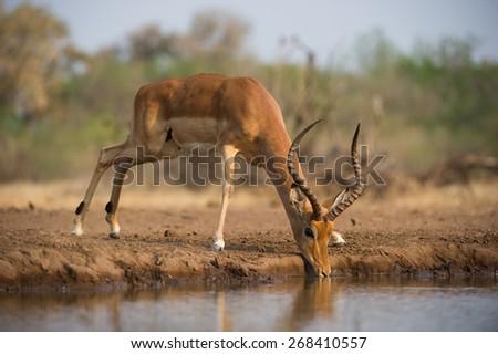 A horizontal, colour photo of a wary impala ram drinking at a waterhole - stock photo