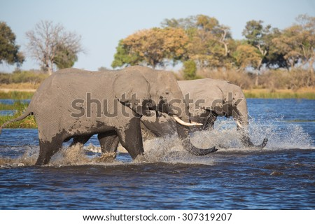 A horizontal, colour photograph of two elephants, Loxodonta africana, splashing through blue knee-deep water in the Linyanti swamps. - stock photo