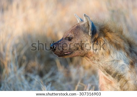 A horizontal, colour profile photograph of a spotted hyena, Crocuta crocuta, with a bloodied face at Elephant Plains, Sabi Sands Game Reserve, Mpumalanga province, South Africa. - stock photo