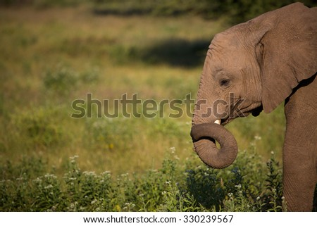 A horizontal, cropped, colour photo of the profile of a young elephant, Loxodonta africana, standing in green grass and curling  her trunk around her small tusk in Mashatu Game Reserve, Botswana. - stock photo