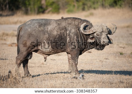 A horizontal, full length, colour image of Cape buffalo, Syncerus caffer, standing side on with his muddy face and horns facing the camera at Elephant Plains, Sabi Sands Game Reserve, South Africa. - stock photo