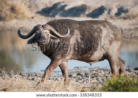 A horizontal, full length, colour photograph of a balding Cape buffalo walking along the edge of a muddy waterhole and staring towards the camera at Sabi Sands Game Reserve, South Africa. - stock photo