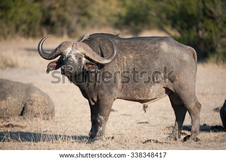 A horizontal, full length, colour photograph of a Cape buffalo standing in side light with his head and horns facing the camera, at Elephant Plains, Sabi Sands Game Reserve, South Africa. - stock photo