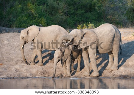 A horizontal, full length, colour photograph of three elephants, Loxodonta africana, drinking and dripping at a water hole at Elephant Plains, Sabi Sands Game Reserve, South Africa. - stock photo