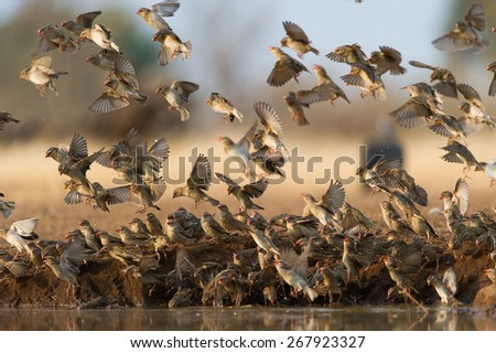 A horizontal photo of a flock of red-billed queleas flying, landing, and drinking in a confusion of feathers, at a waterhole in the Tuli block, Botswana - stock photo