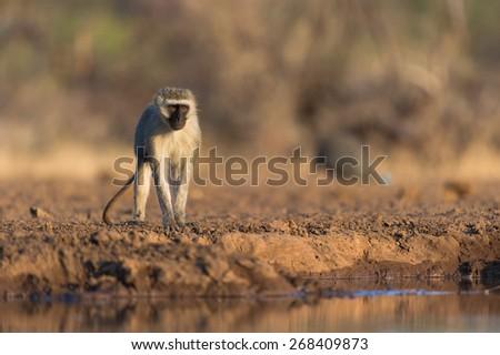 A horizontal photo of a monkey beside a waterhole. - stock photo