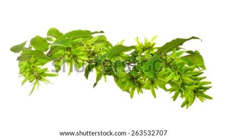 a hornbeam leaves isolated on white - stock photo
