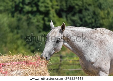 A horse is eating in a Tuscan farm - stock photo