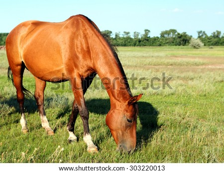 A horse walks in the field. The foal is walking with his parents in a meadow. Little pony. Thoroughbred horse breed. Thoroughbred a stallion. many. - stock photo