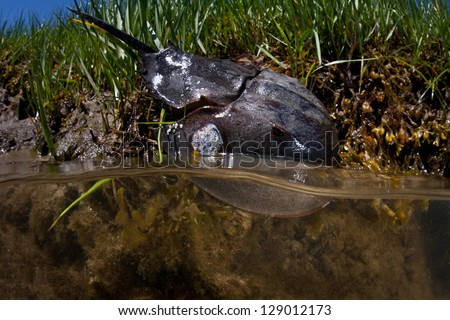 A Horseshoe crab (Limulus polyphemus) lives in a salt marsh on Cape Cod, Massachusetts.  This species is widespread along the Atlantic coastline often found in shallow areas in summer months. - stock photo