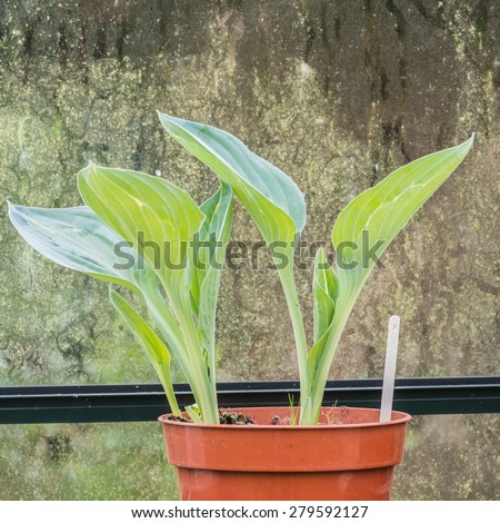 A hosta sitting in a tray in the greenhouse. - stock photo