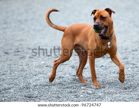 A hound bringing the ball back to you. - stock photo