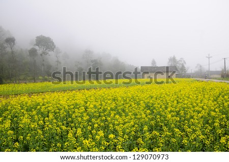 A house in yellow rapeseed garden in Hagiang province, Vietnam - stock photo