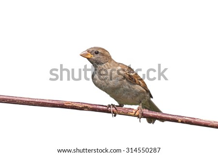 A house sparrow leans forward on a tree branch, white background - stock photo