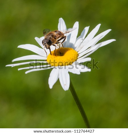 A hoverfly sits atop an ox eye daisy. - stock photo