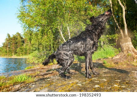 A Huge Black Dog is Shaking all the Water of in a Natural Background - stock photo