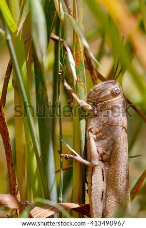 a huge giant grasshopper basking in the sun over cereal plantation in Tarragona, Spain - stock photo