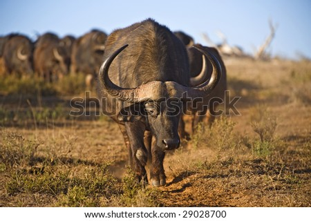 A huge herd of Buffalo walks in line to  the river - stock photo