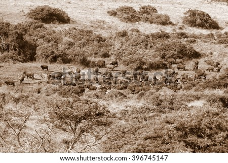 A huge herd of Cape Buffalo cool down and drink at a watering hole. South Africa - stock photo