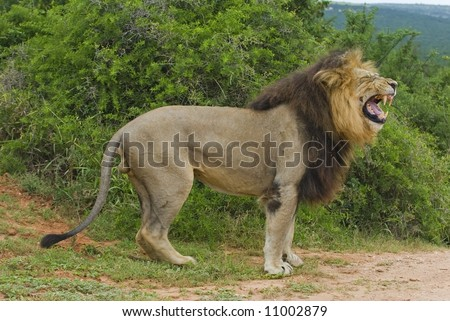 A huge Male Lion is not pleased at the presence of the photographer - stock photo