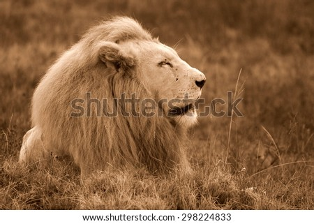 A huge male white lion lying down in this portrait. South Africa. - stock photo