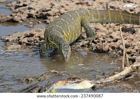 A huge Nile Monitor, Varanus niloticus, drinking near a river in Serengeti National Park, Tanzania - stock photo