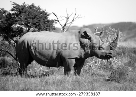 A huge rhinoceros / rhino grazing in this image. - stock photo
