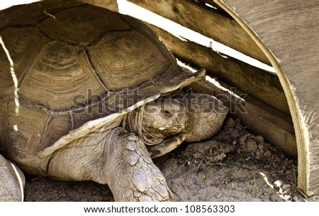 A huge turtle in the sand resting. - stock photo