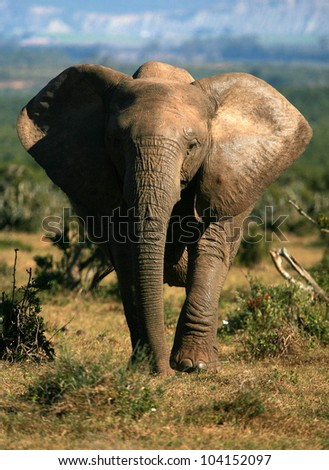 A huge tuskless female elephant cow marching towards the camera in this low angle front on view. Taken while on safari in Addo elephant national park,eastern cape,south africa - stock photo