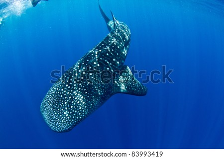 A huge whale shark turns to dive back to the depths. - stock photo