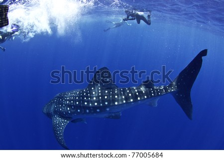 A huge whale shark turns towards his admirers in Utila honduras. - stock photo