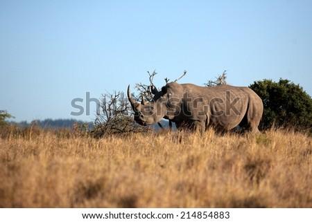 A huge white rhino / rhinoceros bull in golden light. - stock photo