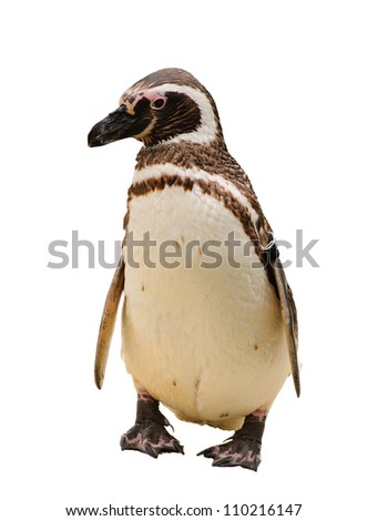 A Humboldt or Magellanic species of penguin, isolated on white - stock photo