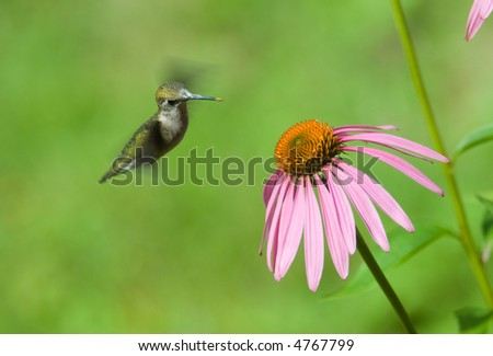 A humming bird in some pink flowers eating - stock photo