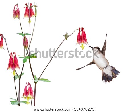 A hummingbird focuses in on the sweet nectar of a ruby red columbine flower. The delicate bird's tail is wide open, its white breast and spotted neck are in full display.  white background - stock photo