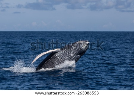 A Humpback whale calf (Megaptera novaeangliae) breaches out of the Atlantic Ocean. This endangered species migrates from the Northern Atlantic to the Caribbean each winter to breed or give birth. - stock photo