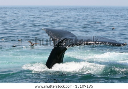 A humpback whale dives off the coast of Cape Cod. - stock photo