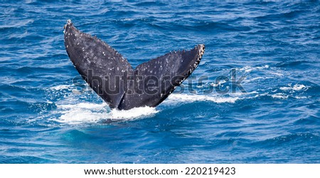 A  Humpback whale diving and slapping its tail at Hervey Bay Austraila - stock photo