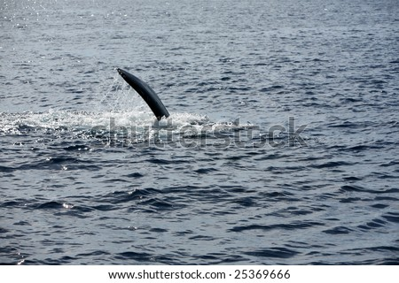"a ""Humpback Whale"" ""Megaptera novaeangliae"" peck slaps the water as it enjoys life in the warm waters of Maui in the Hawaiian island chain - stock photo"